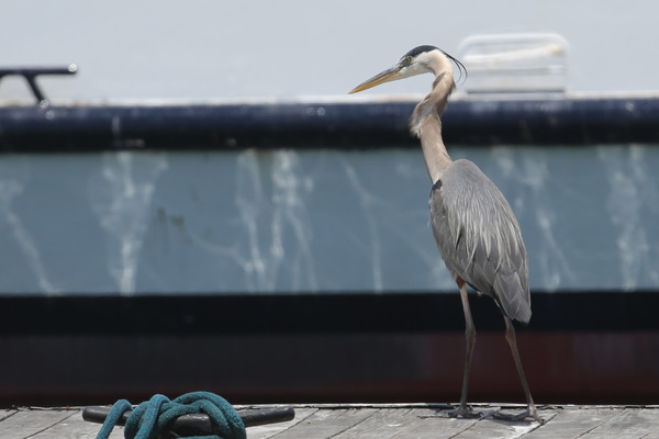 Rainbow Harbor - Great-blue Heron