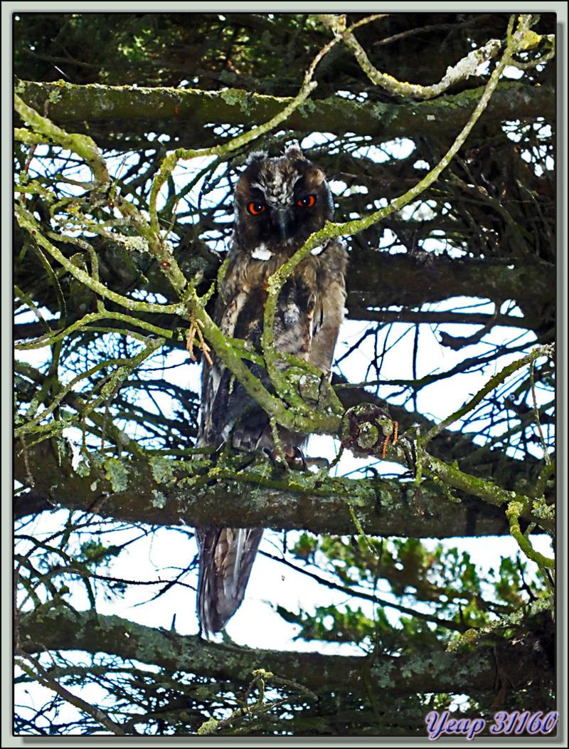 Hibou Moyen-Duc, Long-eared Owl (Asio otus) - Ars-en-Ré- Ile de Ré - 17