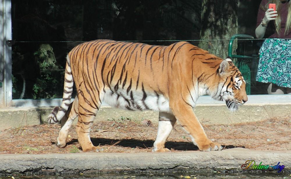 "tigre "" la Palmyre"""