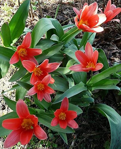 Tulipes-botaniques--25-03-2010-044.jpg