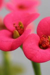 Euphorbia Milii V. Vulcain - Les fleurs