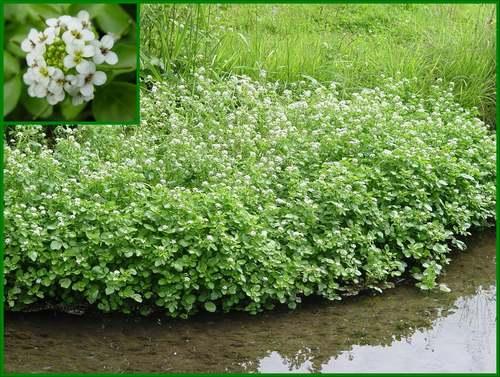 Vertus médicinales des plantes sauvages : Cresson officinal