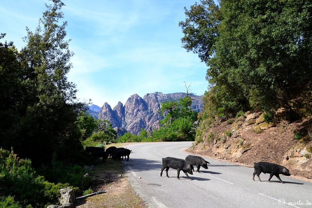 Cochons traversant la route ©maiteds
