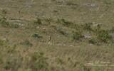Monticole de roche - p 319
