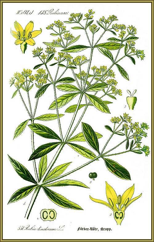 Vertus médicinales des plantes sauvages : Garance