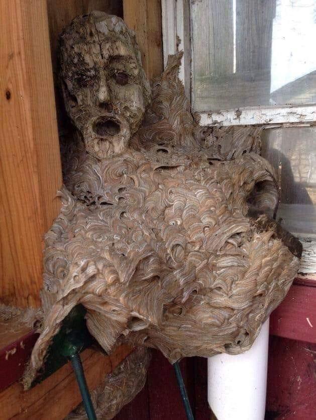 Superbe cauchemar ! Un nid de frelons construit autour d'un masque