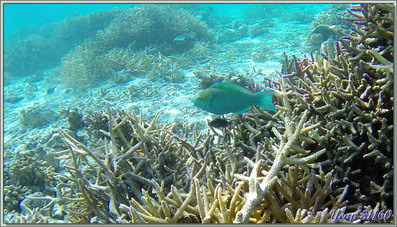 En avançant dans le massif corallien - Athuruga - Atoll d'Ari - Maldives