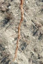 Euphorbia exigua - euphorbe fluette