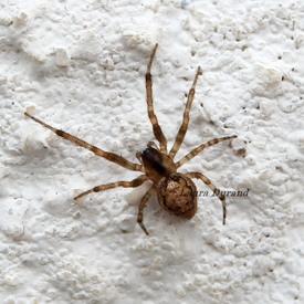 Zygiella X-Notata ou Araignée des Fenêtres