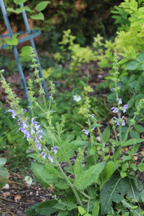 Salvia pratensis Madeline