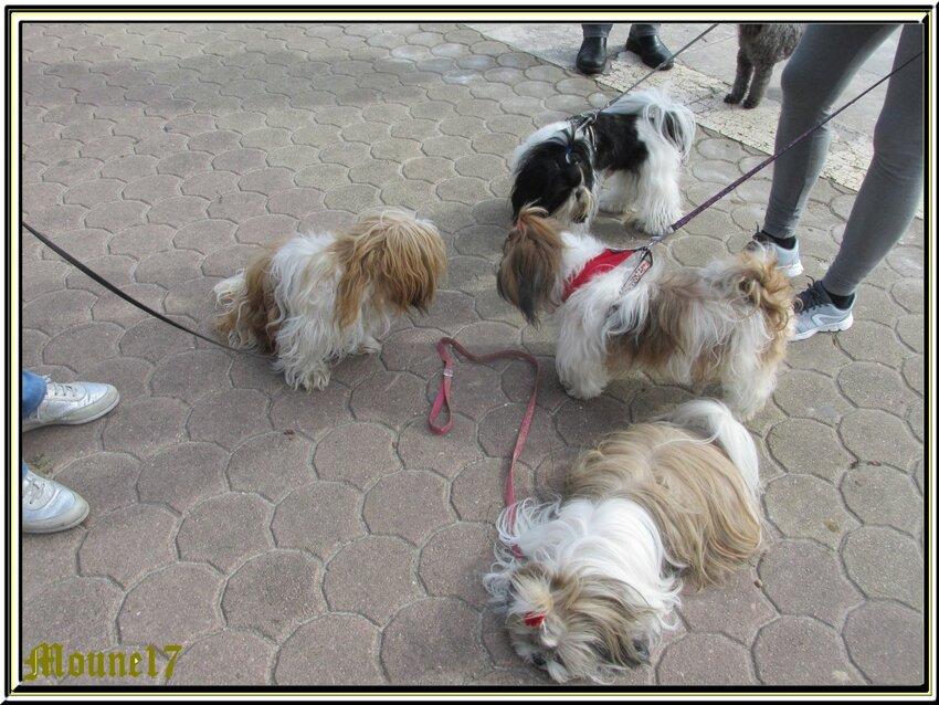3 shih-tzu et un caniche à Royan