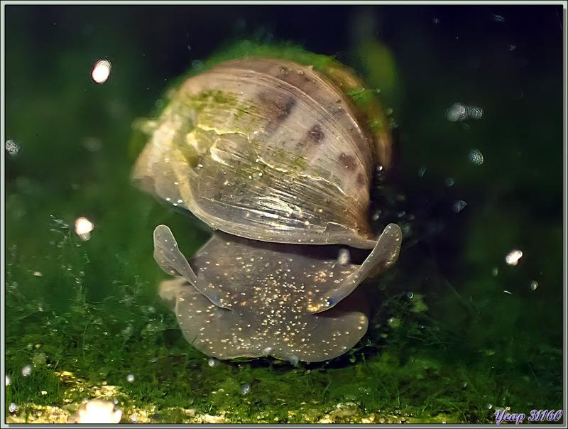 Limnée commune, Limnée ovale, Wandering snail (Radix balthica) - Lartigau - Milhas - 31