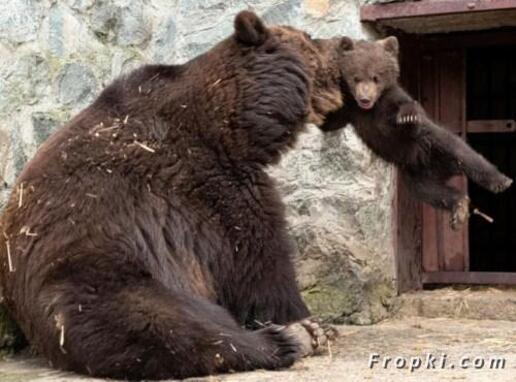 Maman ours se fâche !