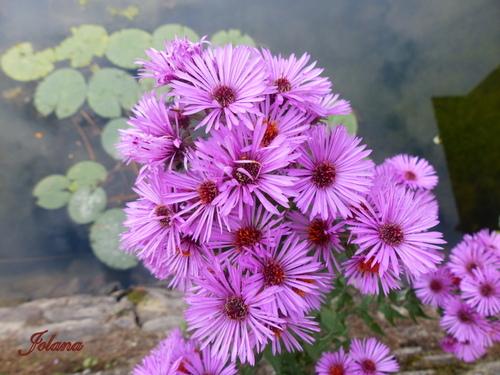 Asters fleurs