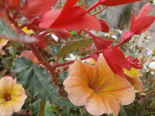 gros plan sur un mélange fleuri, bégonia vermillon, pétunias orange et jaunes