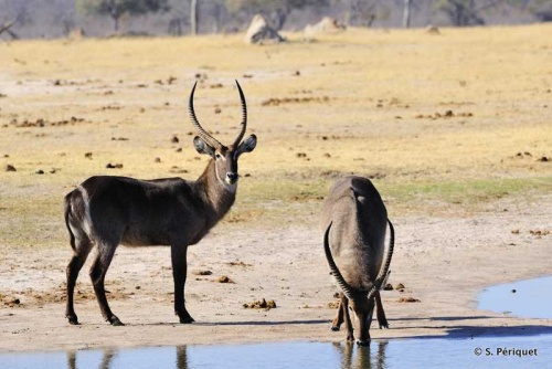 Waterbucks having a drink at Ngweshla
