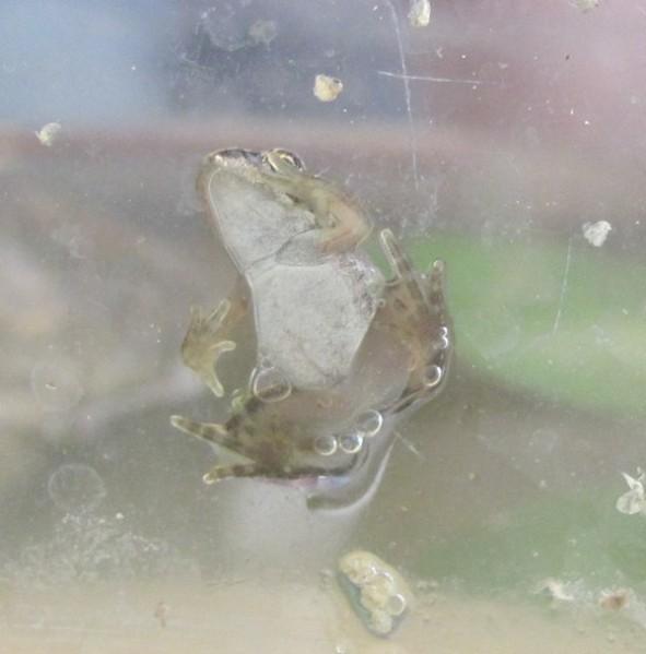 grenouille d