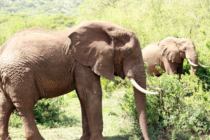 Eléphant du Parc de Manyara