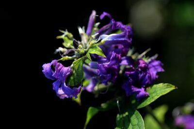 Clematis heracleifolia Cassandra