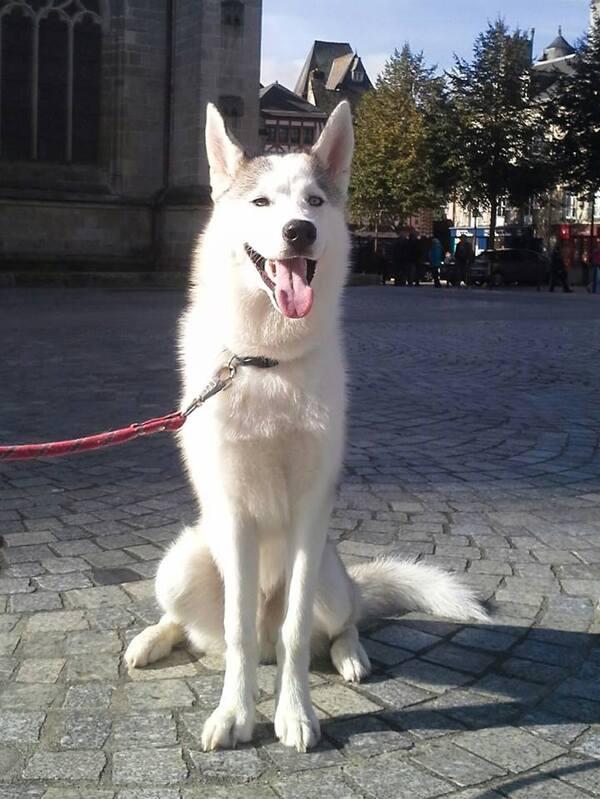 Louky, Husky de presque 7 mois.