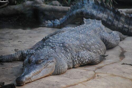 Crocodile à Museau Allongé d'Afrique