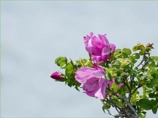 Fleurs du marais. (3)