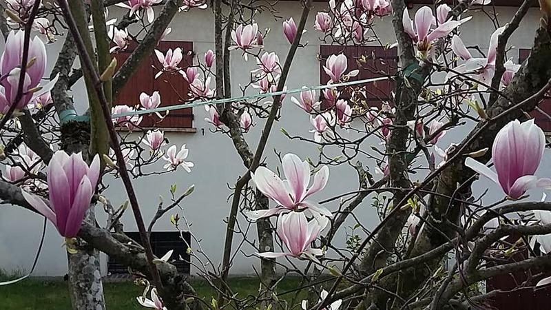 les magnolias pour vous souhaiter un bon dimanche