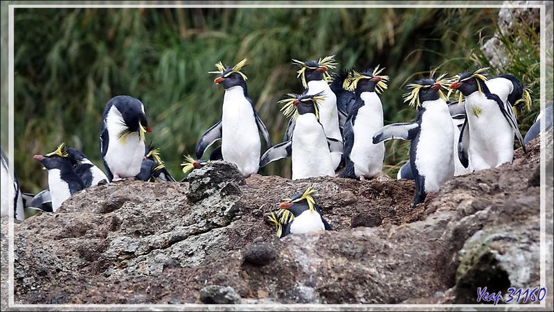 Gorfou de Moseley, Northern Rockhopper Penguin (Eudyptes moseleyi) - Nightingale Island - Tristan da Cunha