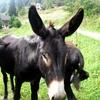 les ânes 003.jpg