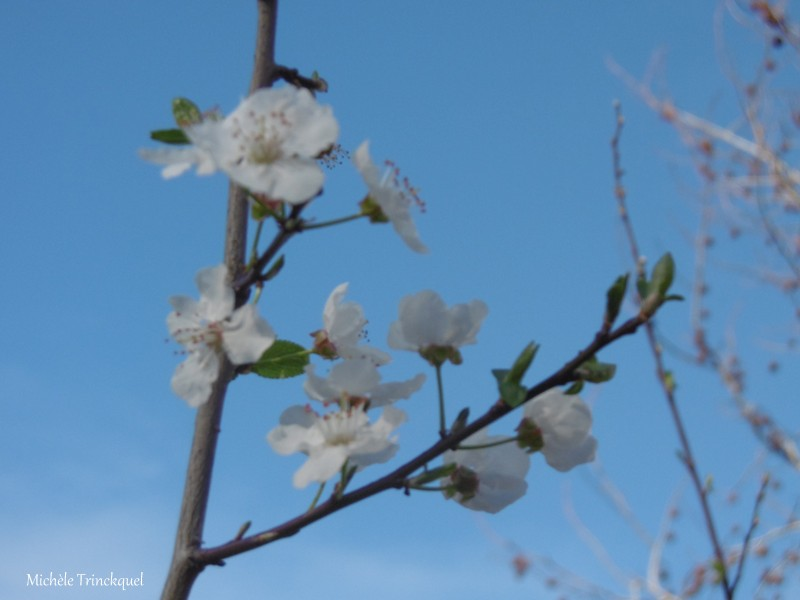 Une autre balade fleurie dans mon village, le 18 février...