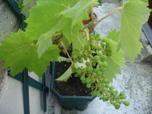 Du raisin sur mon balcon 葡萄の房