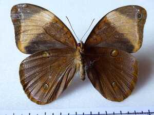 Catoblepia versitincta versitincta