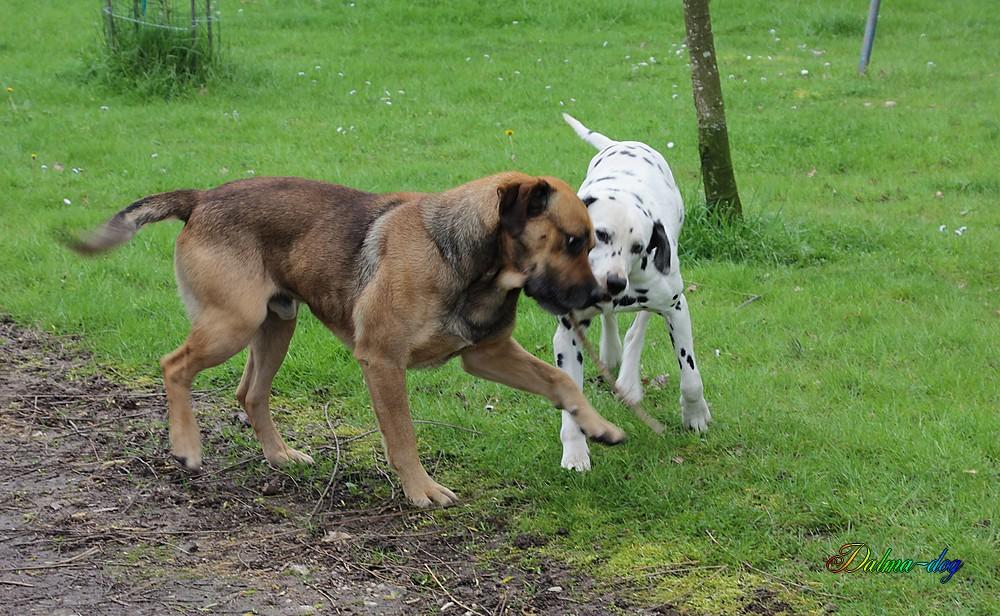 Mes chiens Chipeur et Taos font les fou!!!
