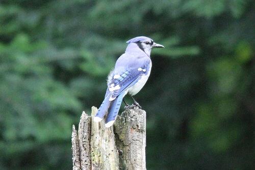 Geai Bleu (Blue Jay)