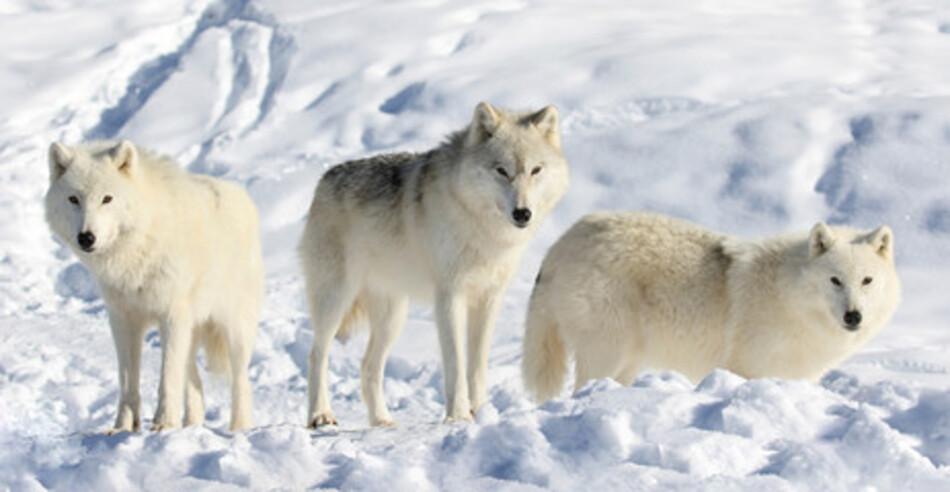 Loups de mon coeur