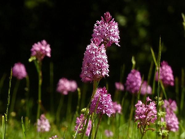 Orchidées pelouse 02