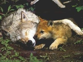 Une louve et son bébé