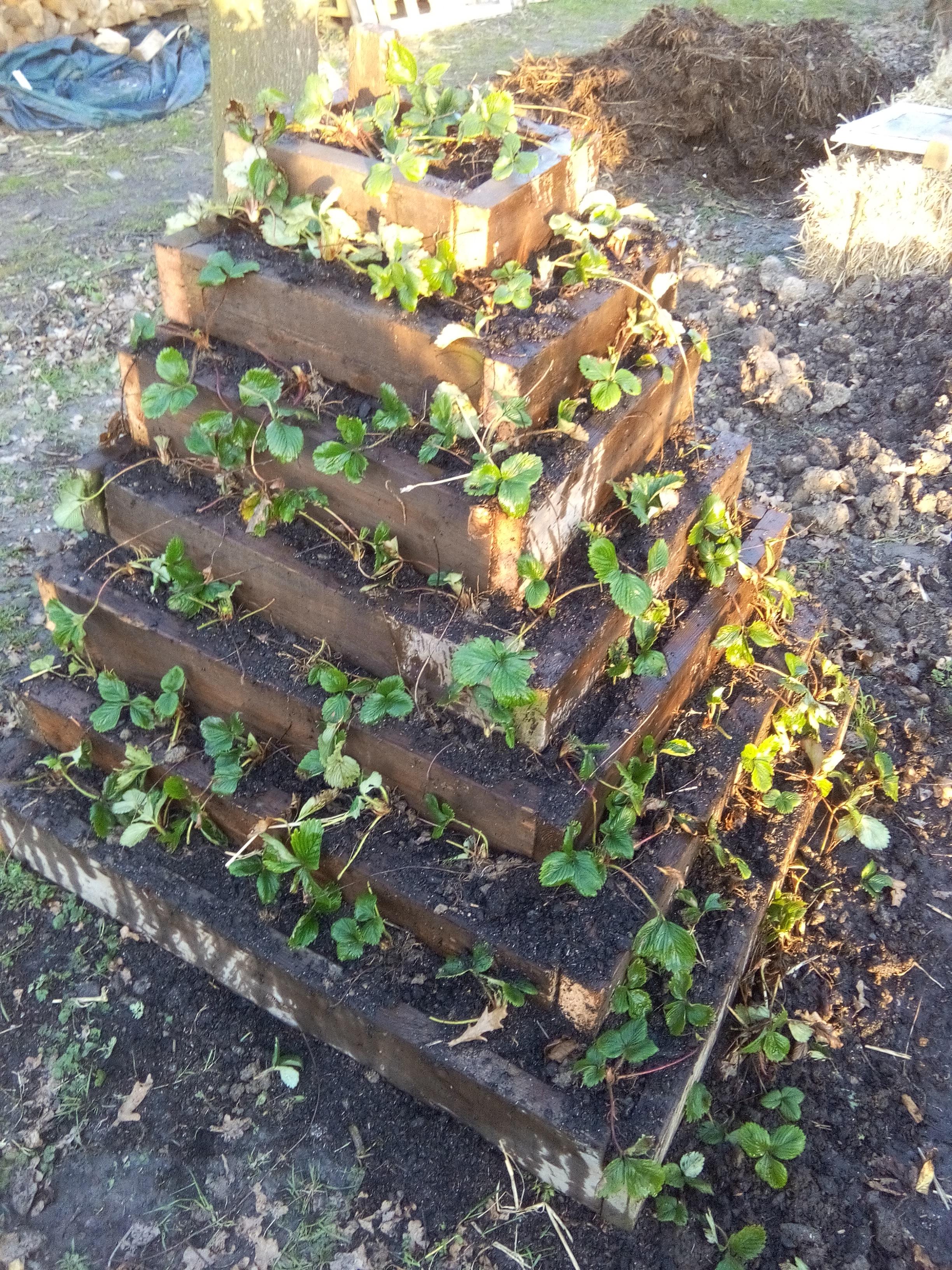 essai pyramide fraisiers cot jardin le jardin du petit rousseau. Black Bedroom Furniture Sets. Home Design Ideas