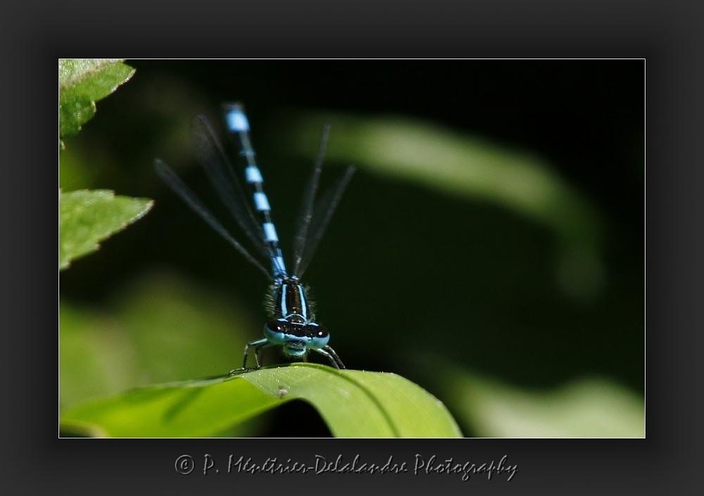 Coenagrion puella - Agrion jouvencelle mâle