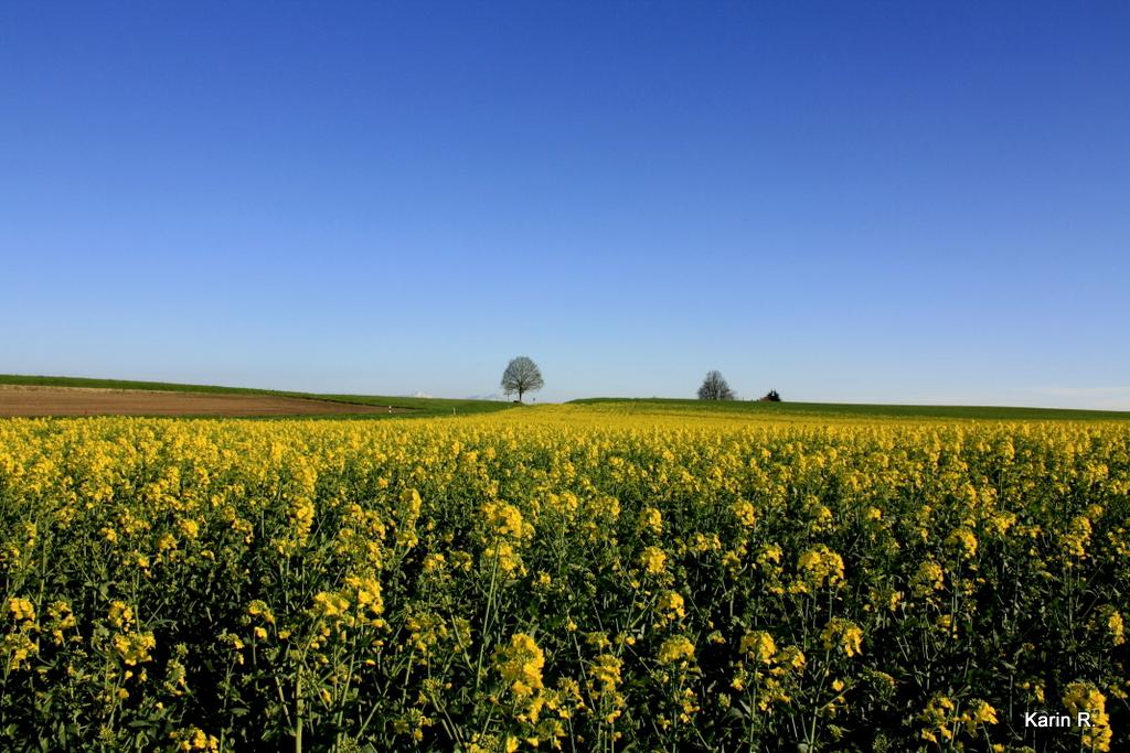 Dernier champ de colza de l'année