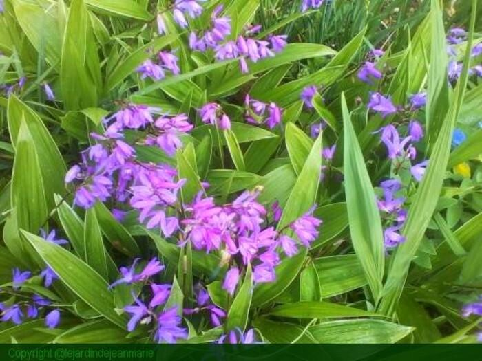L'orchidèe de rocaille(Bletilla Striata Hyacinthinas)rustique