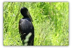 Bec ouvert Africain - Parc des oiseaux