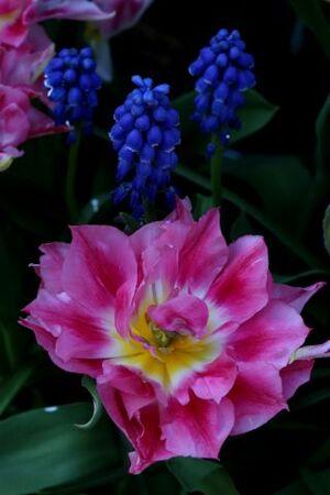 Tulipes 2015 : Peach Blossom