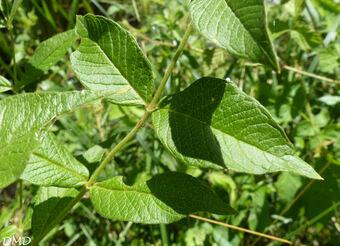Lysimachia vulgaris  -  lysimaque commune