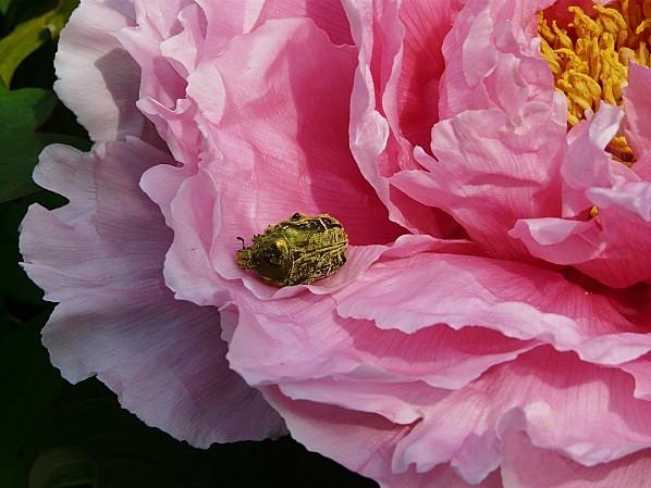 Cetoine-gave-de-pollen--piv.-arb.--26-4-10.JPG