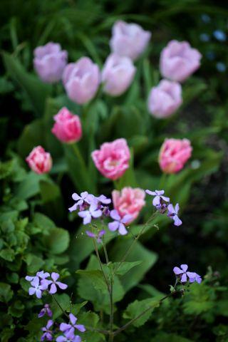 Tulipes 2020 : Fancy frills