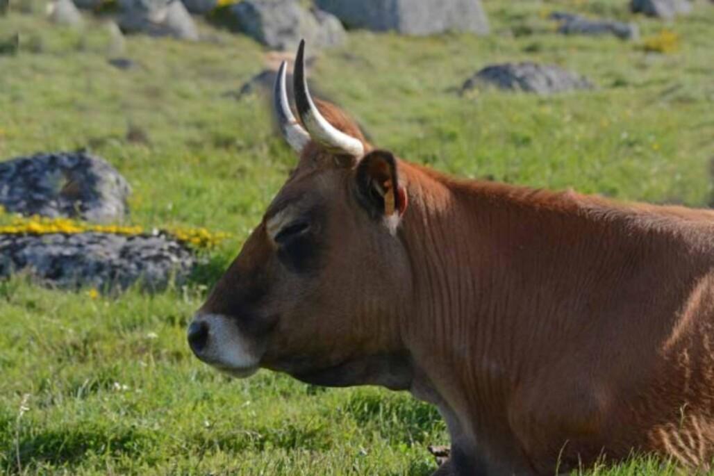 Vaches---traite-a-l-ancienne-2576.jpg