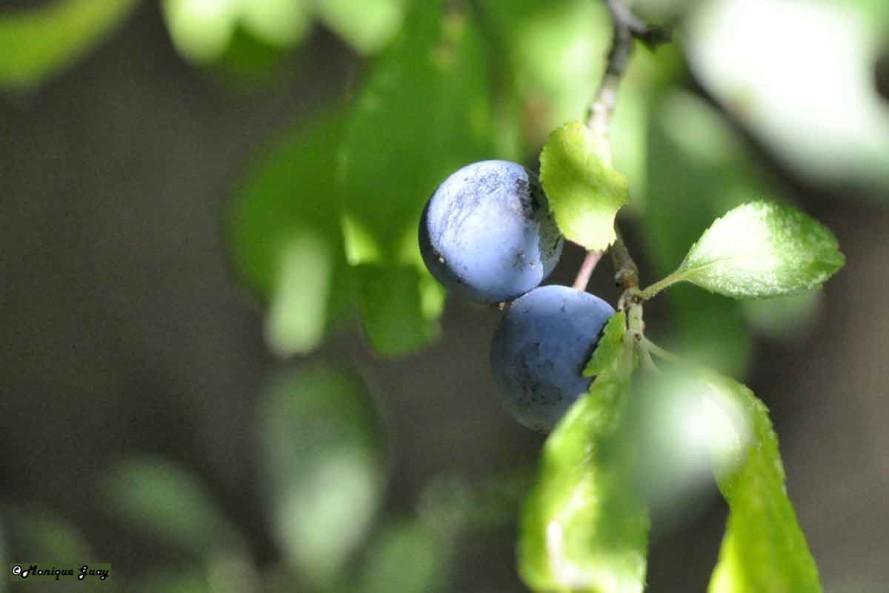 DSC0496-prunelle