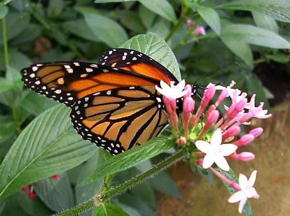 Papillons-Goulaine--2004-08.jpg