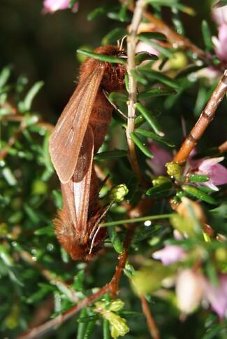 Papillon l'Écaille cramoisie, Phragmatobia fuliginosa.